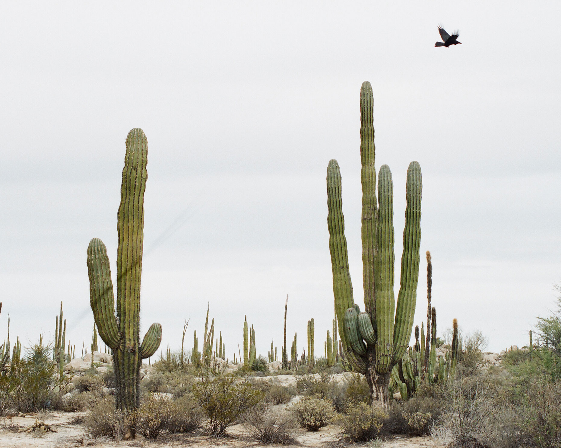cactus-and-birdsmall